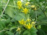 promising spring tomato blossoms
