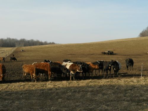 heifers waiting for spring