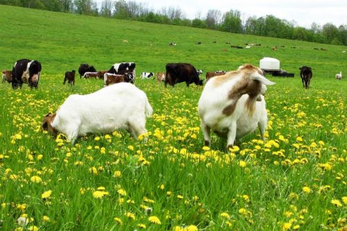 early summer grazing