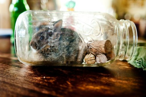 rabbit in mason jar
