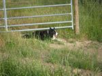 Keeping Cows Back From Open Gate