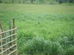 Pasture planted for pigs once they are big enough to be safe from coyotes