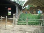 Shelter and side lot for young pigs