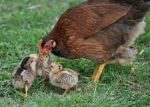 Mother and chicks, April 16, 2012
