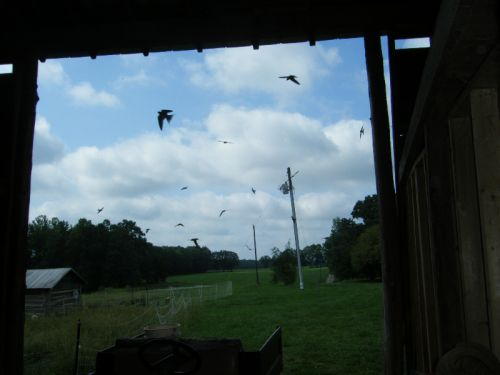 Barnswallows Coming in and out of Barn