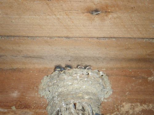 Barnswallow Babies Hanging Out