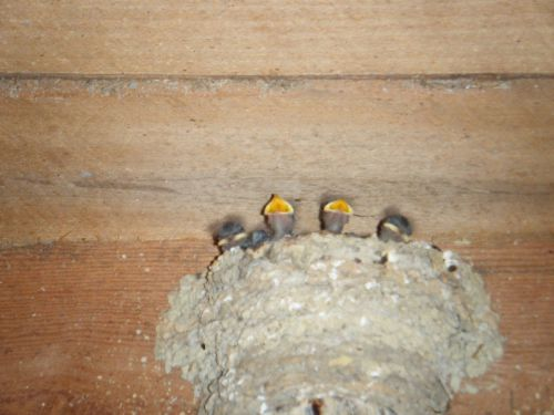 Barnswallow Babies Waiting for Food