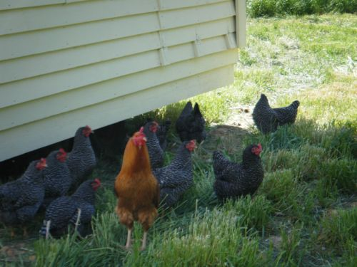 Hens and rooster in the shade of mobile house