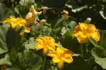 Squash Blossoms July 22