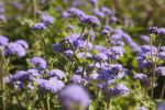 Ageratum growing in field