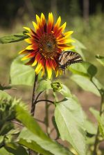 Sunflower and insects