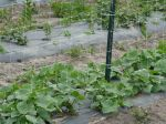 Cucumbers ready to vine