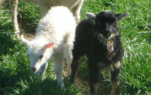 Our black mouflon lamb with his twin sister--what a cutie!