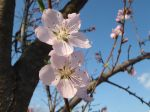Peach Blossoms in March
