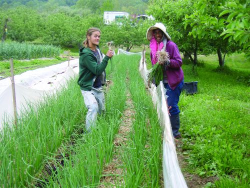 Picking the best looking spring onions for our big harvest