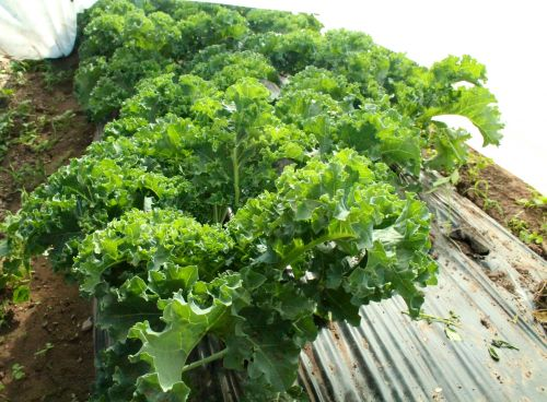 Our kale is looking gorgeous