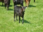 Ronstadt, one of our ET Angus heifers