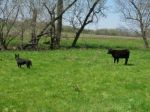 The calves love to play tag with Tess