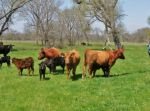 Spring calves on green grass
