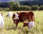 Hereford and Violet Calf