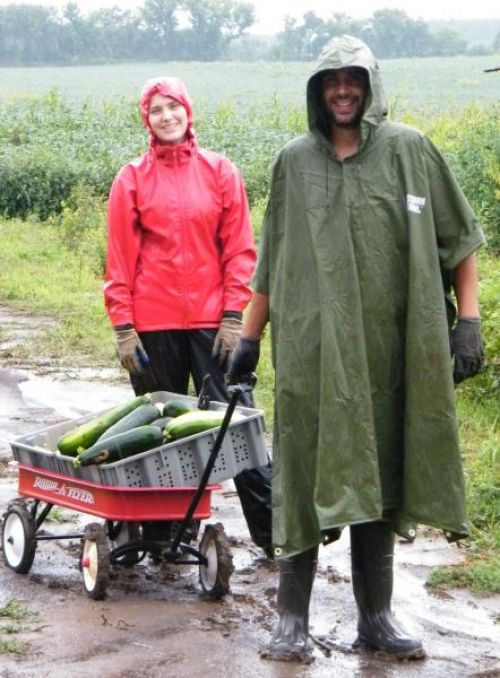 Harvesting in the rain