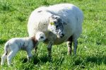 April brings pastures full of lambs