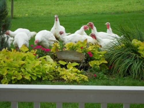 Free range turkeys are hard on my flower beds :(