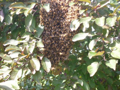 This swarm rested in the tree outside my window!