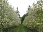 Apple Blossom 2009