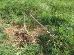 Deer Damage to Baby Peach Tree
