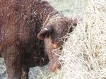 Heifer Calf Playing in Hay