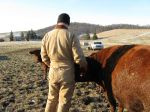 Jacob talking to expectant cow