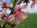 Peach Blossom April 2011