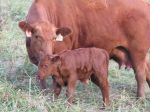 Bull Calf & Mom June 25th, 2011