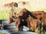Calves Staying Cool July 2011