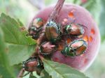 Unfortunately Japanese Beetles Like Peaches Too