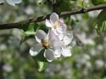 Honeybee Pollinating Apple Blossom