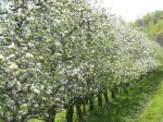 Row of Organic Apple Trees in Bloom