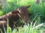 New Bull Calf April 2012