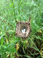 Our cattle shared their pasture with a bird's nest!