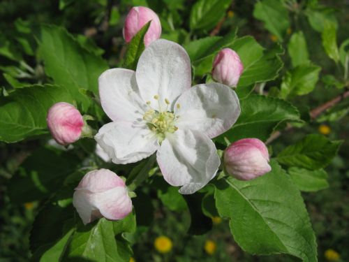 April 9, 2010 Apple Blossom