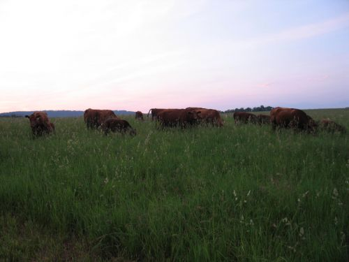 Our Cattle 2010