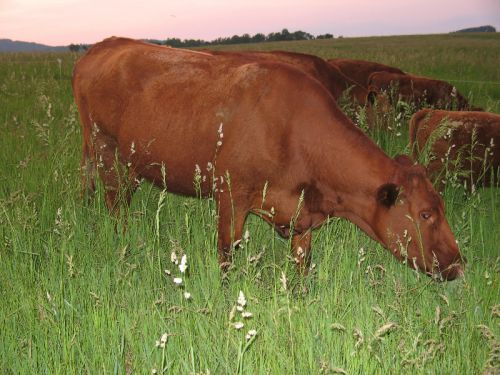 Cow Eating Grass 2010