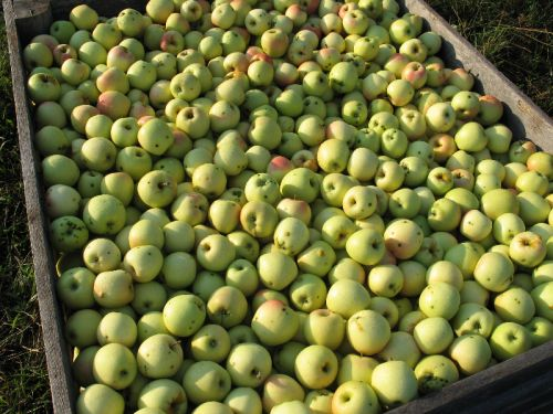 Golden Supreme Apples 2010