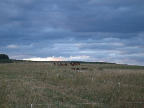 Cattle Grazing on a Cool September Evening