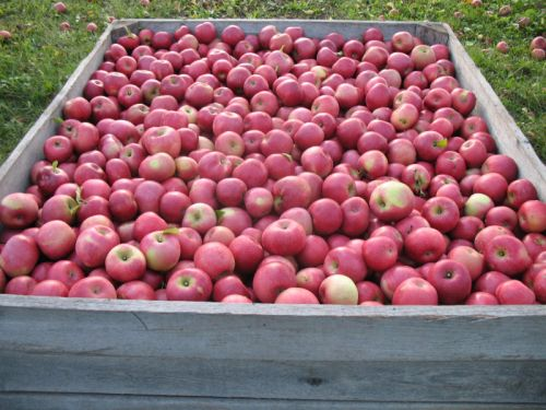 York apples in the bin