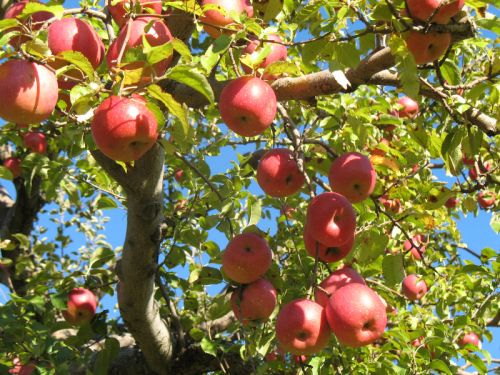 Our York Apples on a Pretty October Day