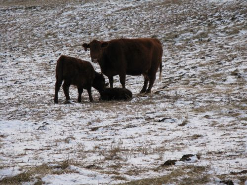 Cow, Calf, and Nutmeg