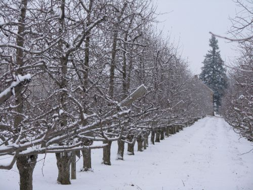 Our Orchard After A Snow Shower Jan '11
