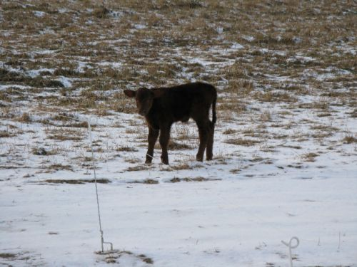 2 Day Old Calf Jan '11